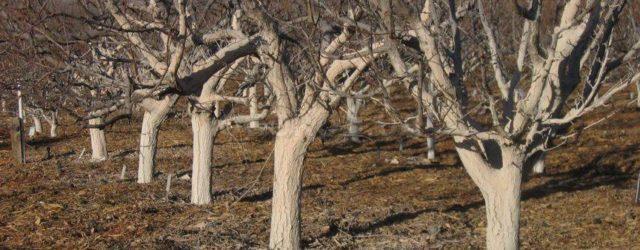 Побелка деревьев - полезные советы на MyGardenWorks.ru