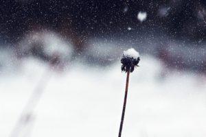 Зимнее садоводство - одуванчик полевой