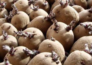 Как проращивать клубни картофеля перед посадкой